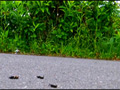 【復刻版】ローファーの下で無残な姿と化すコオロギ!