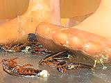 瀬川みおり様が生ストッキングで巨大ゴキブリを踏み潰す 【DUGA】