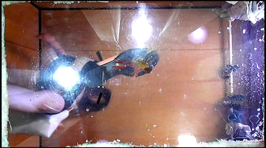 普通の女性・小百合さんがザリガニ・ゴキブリ・魚を踏むサムネイル01